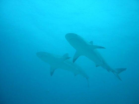 2-sharks